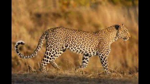 Leopard kills Deer - Animals Attack - Wildlife Documentary Part 2
