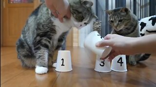 Super smart cats play (and win) the shuffle game
