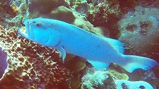 Rare albino grouper fish found on reef in Cayman Islands