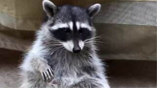 Wild raccoon makes friends with a California couple