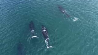 Divers interact with humpback whales