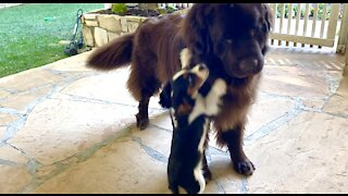 Tiny puppy shows no fear whatsoever of giant Newfoundland