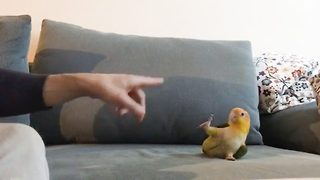 Cheep tricks – Talented parrot performs tricks
