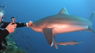 Shark comes too close to scuba diver, gets punched on the snout