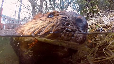 Curious beaver investigates submerged GoPro