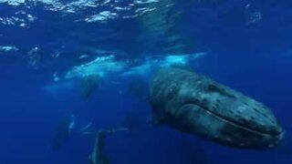 Hvaler svømmer om kap