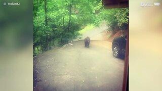 EUA: Urso pardo tenta entrar em carro no Tennesse