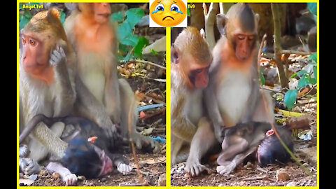 Sad moment this monkey lifts his little brother while he is dead