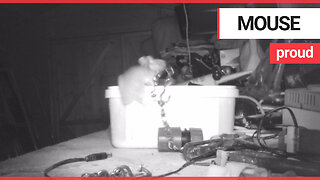 House-proud mouse caught on camera tidying garden shed