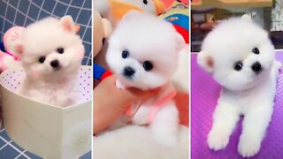 Funny Cute Mini Pomeranian