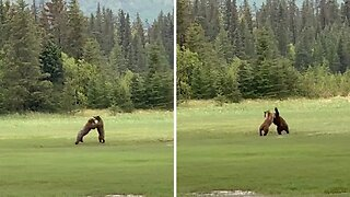 I Can't Bear You!bears' Fighting Caught On Camera