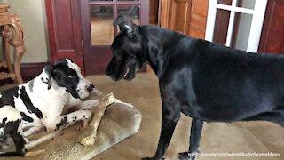 Talkative Great Dane Uses Fancy Footwork To Try To Swipe a Dog Bone