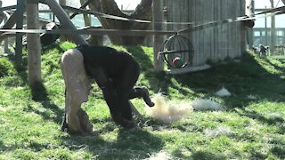 Monkeys play a hilarious game of tug-of-war
