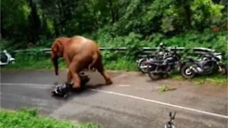 Elephant invades road and destroys scooter