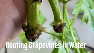 Propagate Grapevines From Green Cuttings
