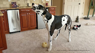 Great Dane is embarrassed to get caught howling in the act