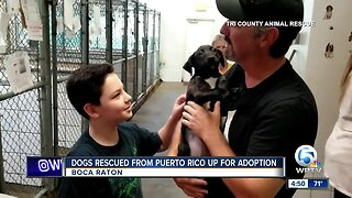 Dogs rescued from Puerto Rico up for adoption in Boca Raton