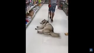 Funny Husky Refuses To Leave Food Store!