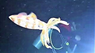 Scuba divers encounter bizarre and beautiful squid hunting at night