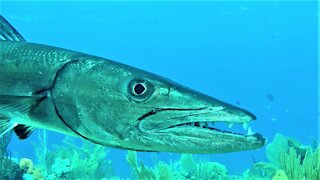 Scuba diver records gigantic teeth of great barracuda