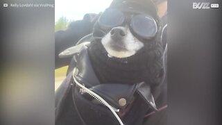 Un cane alternativo che adora andare in Harley-Davidson!