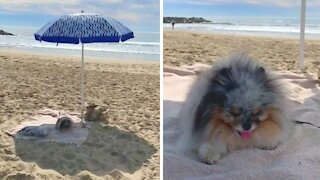 Pomeranian definitely knows how to relax at the beach