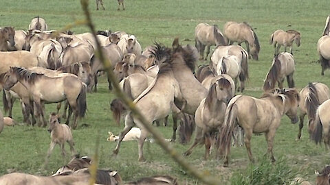 A clash between two wild horses causes a lot of commotion in a herd