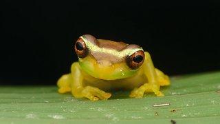 Slender-legged tree frog from Ecuadorian Amazon rainforest