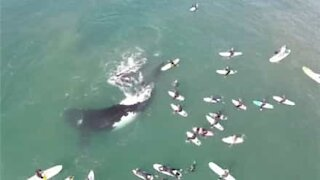 Drone captures massive whale and calf swimming with surfers