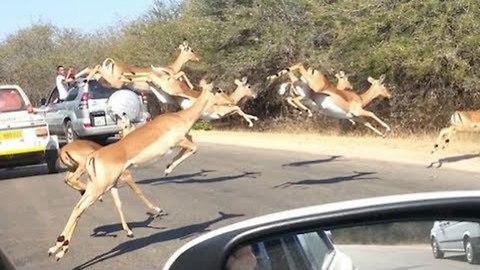 Cheetahs Chase Impala Antelope Into Tourist's Car On Safari