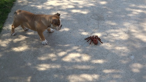English Bulldog puppy takes on robot spider