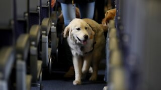 Transportation Department Issues New Rules For Animals On Planes