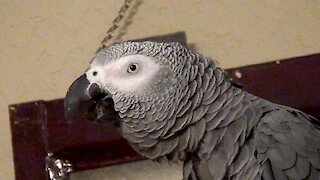 Einstein the Talking Parrot must really be tired!