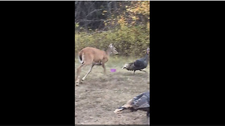 Protective Fawn Chases Away Intruding Turkeys