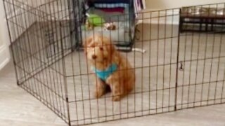 Puppy works smart, not hard - easily bypasses gate