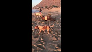 Horse rolls in the sand alongside doggy friends