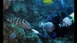 Big, friendly fish follows scuba diver for chin scratch
