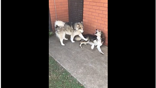 Super needy Malamute completely annoys other dog