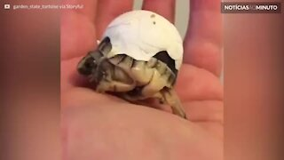 Tartarga recém-nascida não consegue se livrar totalmente do ovo
