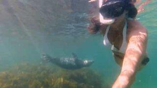 Foca brinca com mergulhadora no Reino Unido