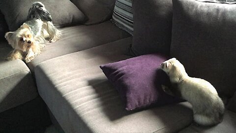 Yorkie begs ferret to play tag with him