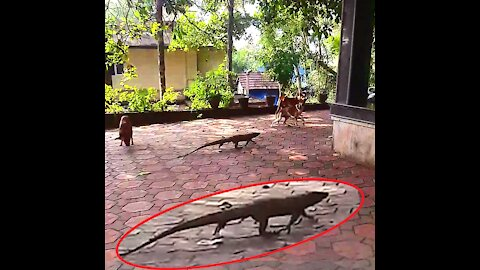 Chasing Big Monitor Lizard With Stray Dogs