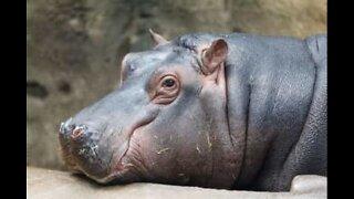 L'incredibile mondo degli ippopotami