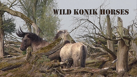 Wild horses are demonstrating powerful air kicks to impress