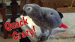 Talking parrot can quack like a duck