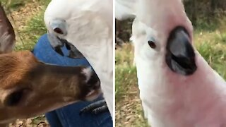 Curious fawn gently pulls on cockatoo's feathers