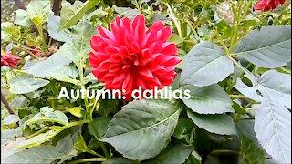 Autumn: dahlias