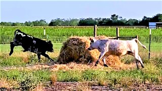 Rescued calves adorably chase each other like gigantic farm puppies