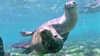 Young sea lions surround delighted swimmers for playtime