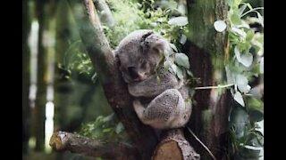 Reddet koala på bedringens vei i Australia!